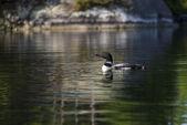 Common Loon on Northern Lake — Stock Photo