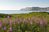 Wildflowers in Gaspe — Stock Photo