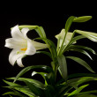 Royalty-Free Stock Photo: Easter Lily