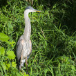 Stock Photo: Heron