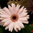 Stock Photo: Pink Gerber Daisy