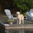 Retriever on the Dock — Stok fotoğraf