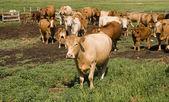 Alberta Cows — Stock Photo