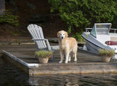Retriever on the Dock — Stock Photo