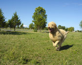 Labradoodle Running at the Park — Stock Photo