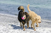 Dogs at the Beach — Stock Photo