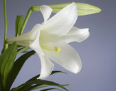 Easter Lily Plant — Stock Photo