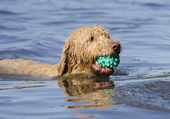 Labradoodle Dog Fetching the Ball — Stock Photo