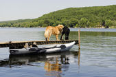 Two Dogs on the Dock — Stock Photo