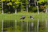 Two Geese Flying on the Lake — Stock Photo