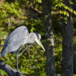 Heron Scratching His Chin — Stock Photo