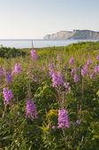 Flores silvestres gaspe — Foto Stock