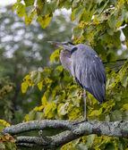 Old Heron Resting — Stock Photo