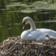 Swan With Her Young on the Nest — Stock Photo