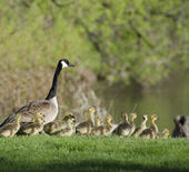 Goose and Goslings in the Grass — Stock Photo