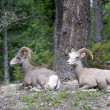 Two Bighorn Sheep — Stock Photo
