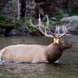 Stock Photo: Wadding Elk