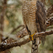 Sharp-shinned Hawk — Stock Photo