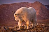 Mount Evans Mountain Goat — Stock Photo