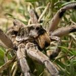Wolf Spider — Stock Photo #19710543