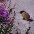 Marmot pup and fireweed. — Stock Photo