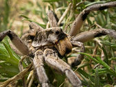 Wolf Spider — Stock Photo