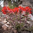 Indian paintbrush — Foto de Stock