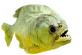 Piranha side on isolated — Stock Photo