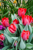 Colorful tulip garden in nature park — Stock Photo