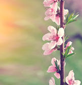 Branch with pink flowers — Stock Photo