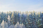 Winter forest — Stock fotografie