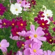 Foto Stock: Pink and white cosmos