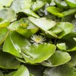Water lily flower among leaves — Stock Photo