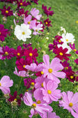 Pink and white cosmos — Stock Photo