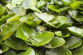 Flor de lirio de agua entre las hojas — Foto de Stock