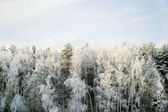 Hoary forest — Stock Photo