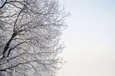 Hoary tree branches — Stock Photo