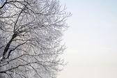 Hoary tree branches — Stock Photo