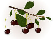 Red cherry branch — Stock Vector