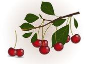 Red cherry branch — Stock Vector