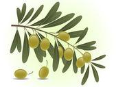绿橄榄科 — 图库矢量图片