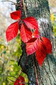 红叶 — 图库照片