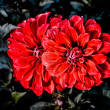 Nice Red Dahlias — Stock Photo #21053139