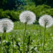 Three Dandelions — Stock Photo