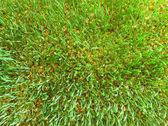 A carpet of Wheat Sprouts — Foto de Stock