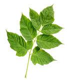 Maple Tree Leaf (cultivar) Leaves — Stock Photo