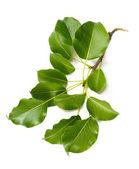 листья грушевого дерева — Стоковое фото