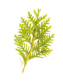 Thuja (Cedar) Leaf — Stock Photo