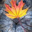 Maple Leaf in Autumn — Stockfoto