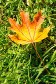 Maple Leaf in Autumn — Stock Photo